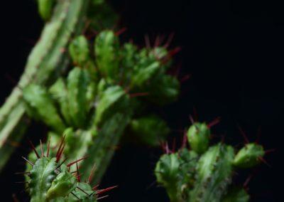 Euphorbia enobla