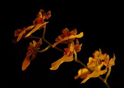 Orchidej rodu Oncidium - ty B. Roezl miloval
